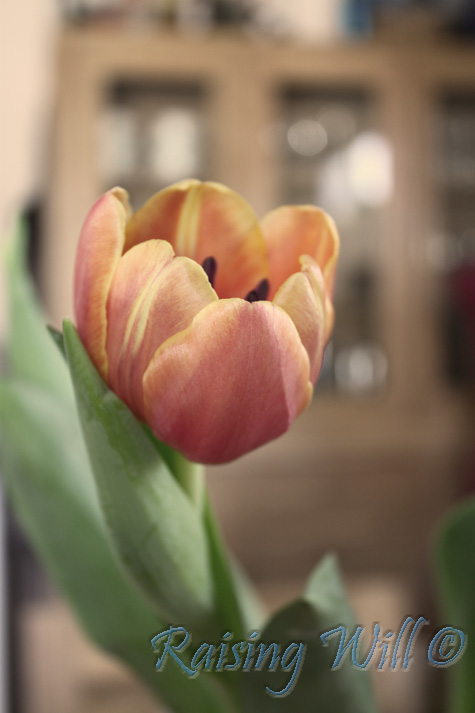 Tulips are great!
